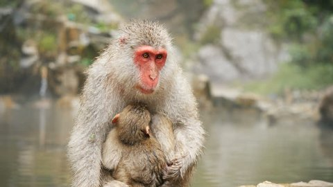 Mother and baby, Japanese Macaque monkeys, near hot-spring [Slow Motion]