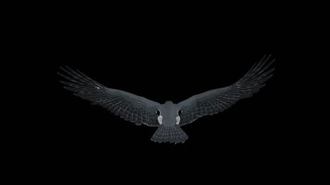 Peregrine Falcon - II - Gliding and Flapping Loop - Top Back Closeup - 4K UHD resizable realistic cinematic 3D animation of flying bird of prey with alpha channel isolated on transparent background.