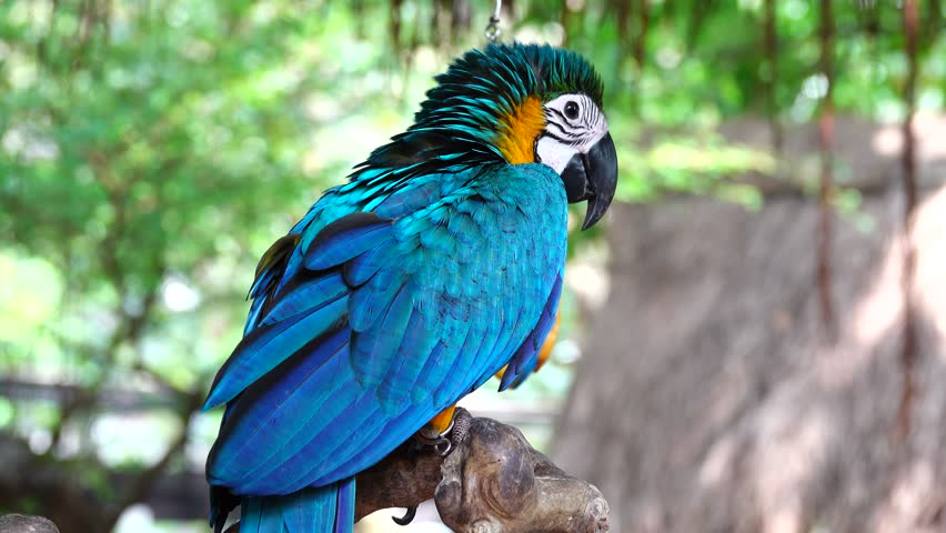 Macaw parrot blue and gold