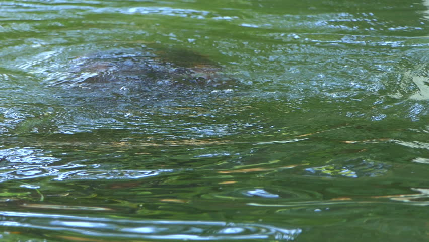 an Astonishing Closeup of an Active Hippopotamus Whose Head Appears in Pond Waters and Starts Swimming and Sending Bubbles Through the Nostrils on a Sunny Day in Summer in Slow Motion. he Looks
