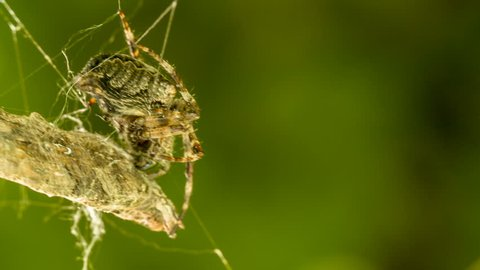 HD 1080p video of a spider weaving a web around its prey/Spider weaving a web around prey