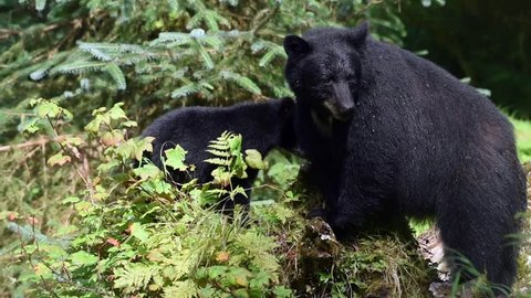 A mother black bear with her cub. The mother has markings of a white V on her chest