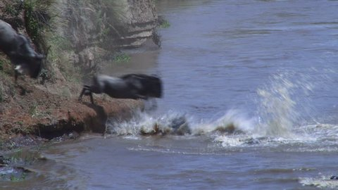 close up of wildebeests jumping into mara river.