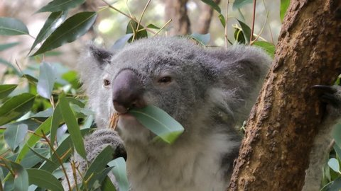 A Koala chewing Eucalyptus leaves. Close-up shot.