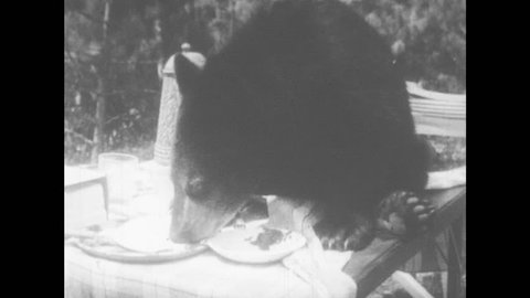 1950s: Black bear cub sits on picnic table eating food. Cub sniffs and eats food from plate on table.