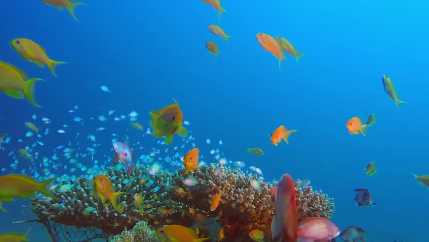 Tropical Sea and Blue-Green Chromis. Picture of underwater blue-green chromis fish and beautiful hard corals in the tropical reef of the Red Sea, Dahab, Egypt.