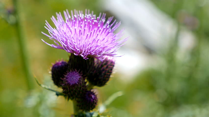 Violet Thistle Flower in the Mountain, 4k