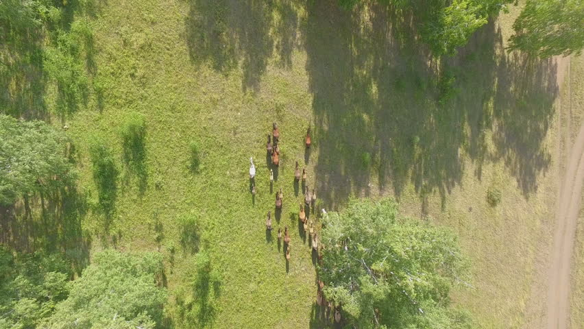 AERIAL: The horses run out of the birch forest into the field. View from a great height. Beautiful animals in the wild, among green grass and fresh air.