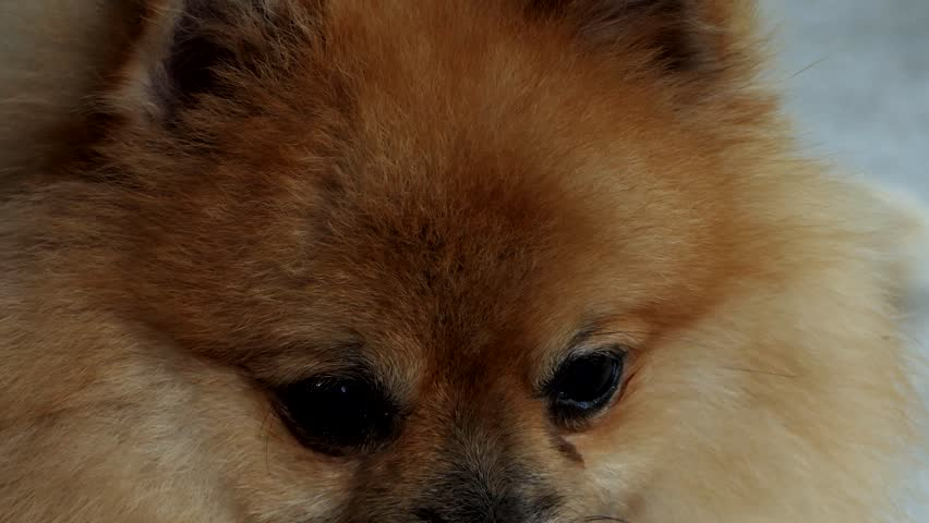 Great Pomeranian Canine Adorable Dog - 1  Photograph_512569  .jpg