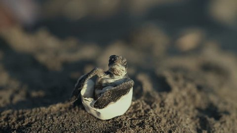 A baby sea turtle could not hatch by itself  and got out by the biologist. This is not an ordinary scene since marine turtles hatch underground and leave their eggs under the sand.