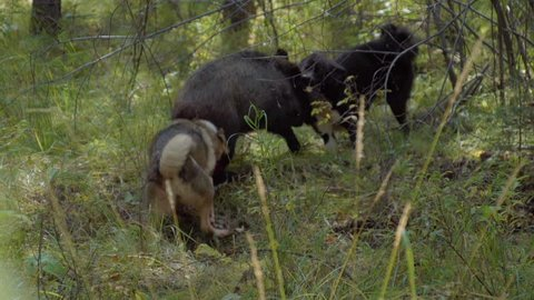 Dogs attacking a wild boar