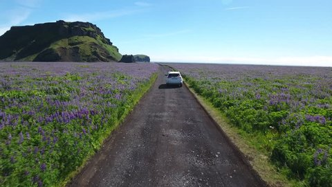 Driving white SUV through beautiful lupine meadow in Iceland - drone footage