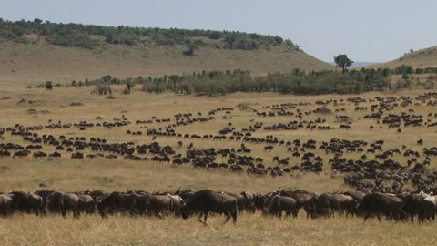 A herd of wildebeests migrating in several files.