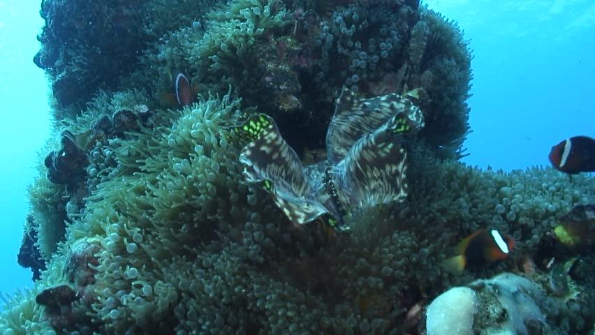 Anemonefish in anemone | Shutterstock HD Video #32577175