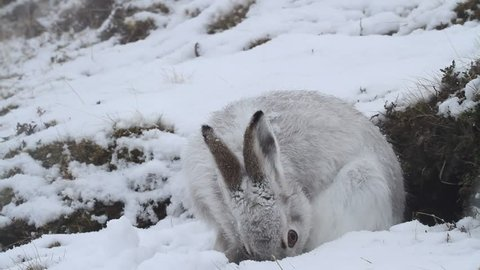 A Mountain Hare (Lepus timidus) in a snow storm in the Highlands of Scotland in its white winter coat eating its cecotrope.
