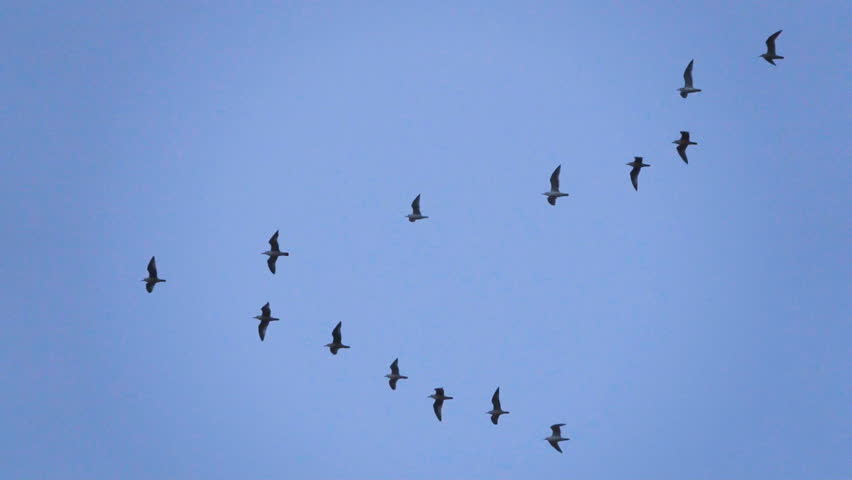 Follow leaders: Flock of  seagull flying in an imperfect V formation. Slow motion.  Birds gull flying in formation, Blue sky background. Migrating Greater birds flying in Formation | Shutterstock HD Video #32609905