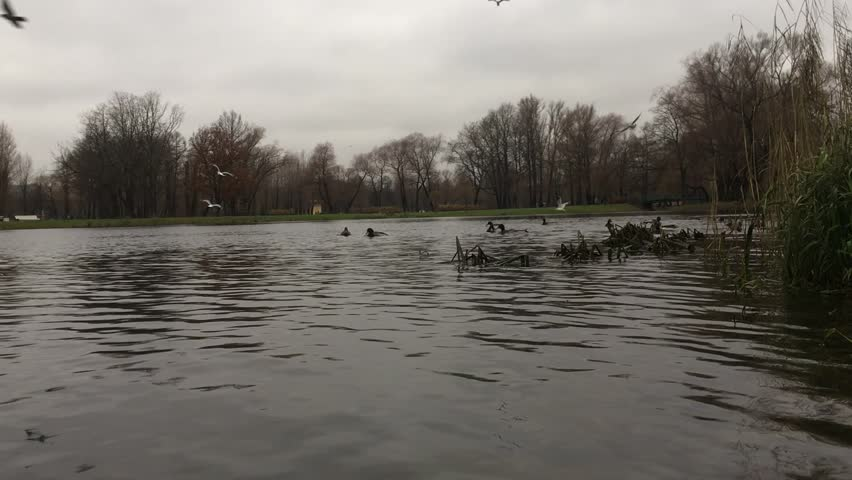 Duck in the pond of the city Park, swim, seagulls fly, shooting from the immersive camera in the water, underwater, watching, gloomy autumn day | Shutterstock HD Video #32636125