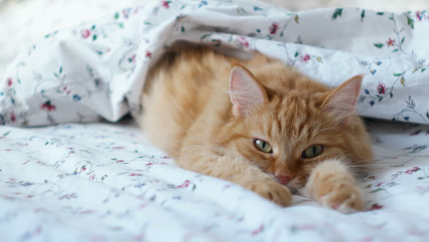 Cute ginger cat lying in bed. Men strokes fluffy pet, it purrs. | Shutterstock HD Video #32669275