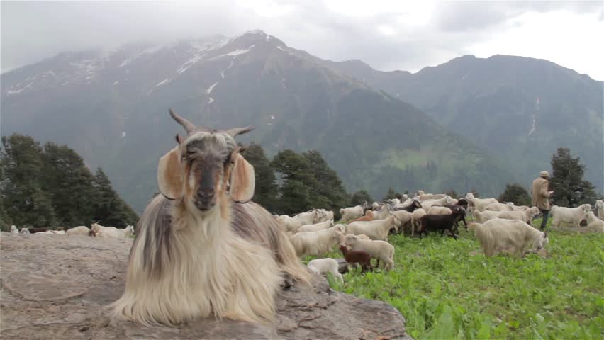 Goat sitting on the rock at the mountain top while rest of flock or herd feeding on the grass