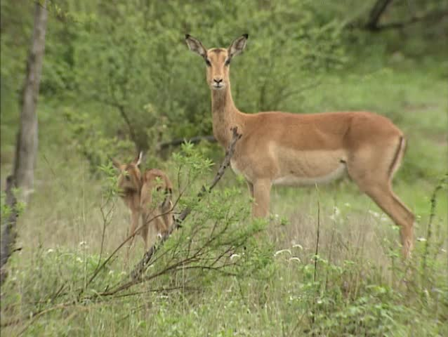 Impala ewe with fawn (Aepyceros melampus) . This is the most common antelope of the bushfield regions of South-east Africa.
