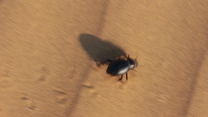 scarab beetle running in desert