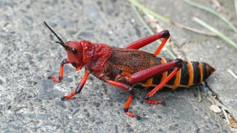Close up of red locust at rest with body moving & begins to walk, potential threat to farmers in Southern Africa