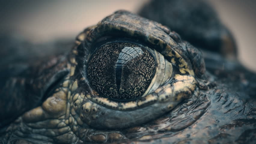 The crocodile closes and opens the eyes closeup | Shutterstock HD Video #32717815