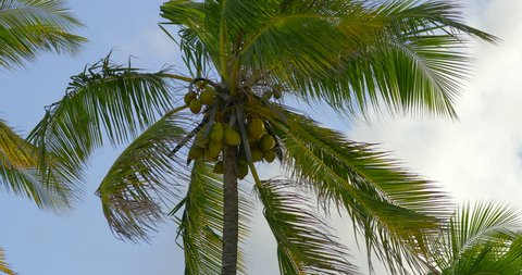 Slowmotion of coconut trees on a breezy day at Zanzibar islands. Africa