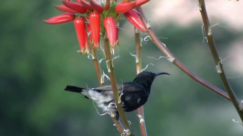 Header of Plain-Backed Sunbird