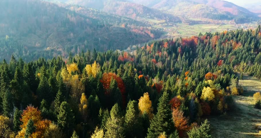 Countryside between the forests. Flying over a beautiful mixed forest in sunny autumn in Carpathian mountains. Aerial view. Green coniferous and red deciduous trees. Vibrant autumn colors.