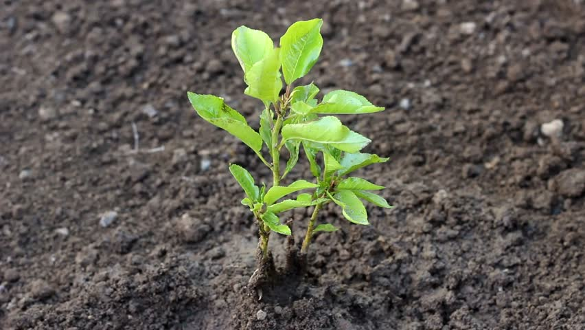 Beautiful real life footage, Seeding,Seedling,Male hand watering young plant over green background,seed planting. Young tree in the garden, Sliding camera shoot , video for nature and environment. UHD | Shutterstock HD Video #32831245
