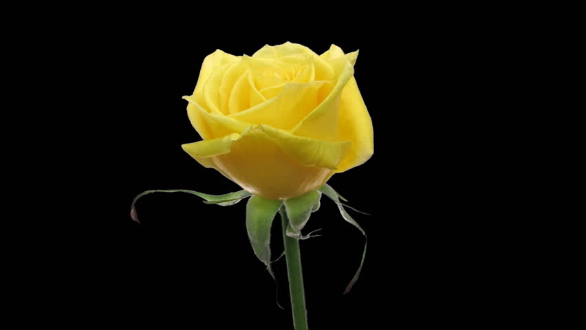 Timelapse Of Yellow Tulip Flower Blooming On Black ...