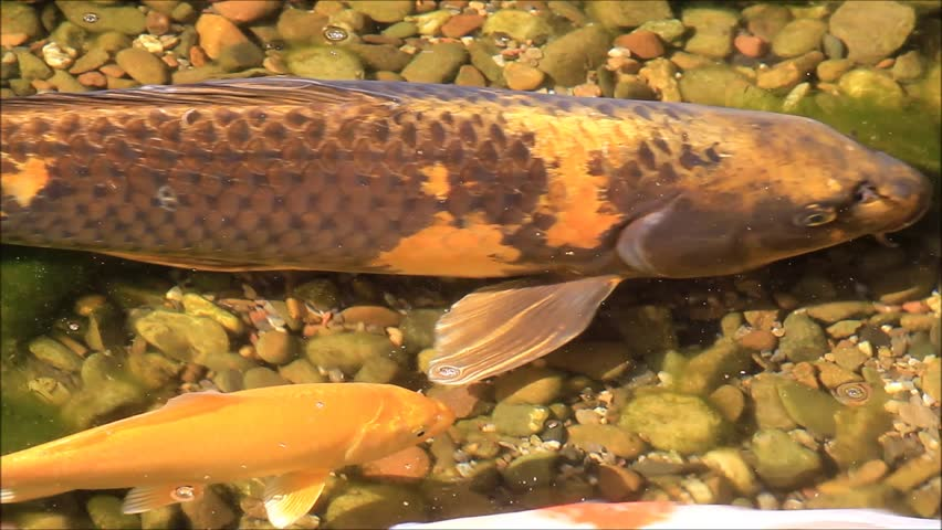 Koi fish swimming in a garden pond  | Shutterstock HD Video #32855395