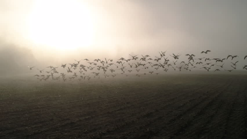 Slow Motion Aerial of Geese Flying in Sunny Fog Haze Over Farm Field