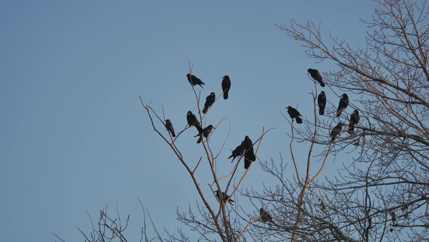 Flock of raven birds sitting on a tree autumn dry branches of trees. | Shutterstock HD Video #32865685