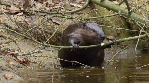 Eurasian beaver (Castor fiber)