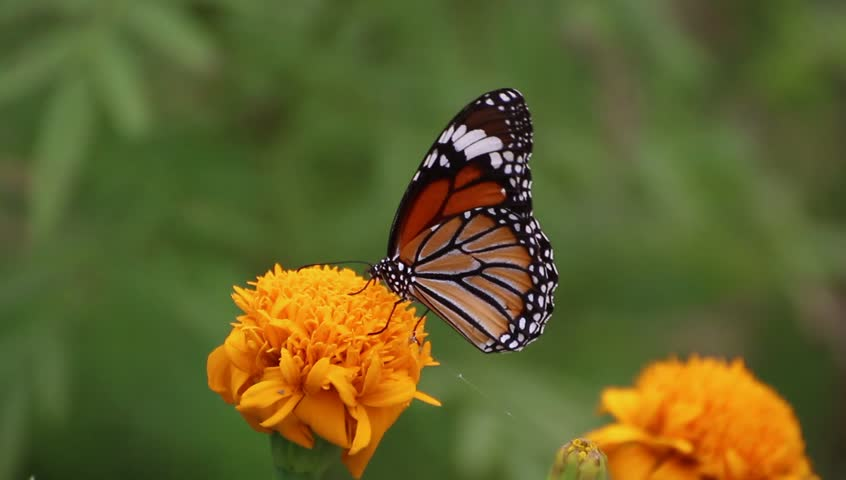 Beautiful Butterfly on the Marigold flower in green background. #32910145