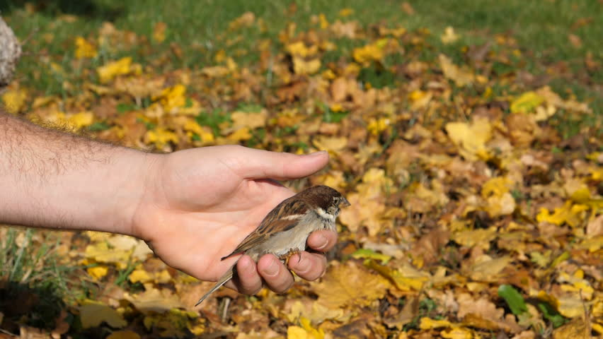 Small Bird Take Off from a Human Hand in an Autumn day. Yellow and Green Leaf Background. House sparrow - Passer Domesticus