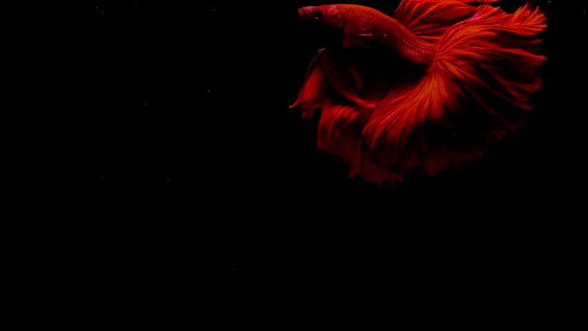 Colorful red Thai Fighting Fish or better known as Siamese Fighting Fish Betta Splendens in super slow motion on black background | Shutterstock HD Video #32984782
