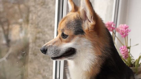 Dog breed Welsh Corgi Pembroke sits on the windowsill of his house and looks out the window.