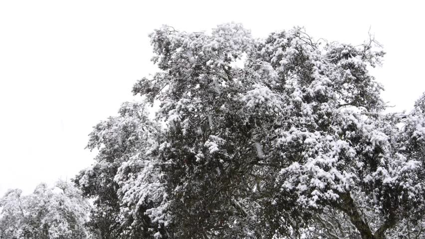 HD The snow falls copiously on a cork oak. Snowflakes cover the top of the tree. the cork oak is covered in snow