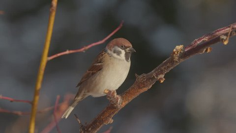 tree sparrow bird perched in tree dark background stunning winterlight
