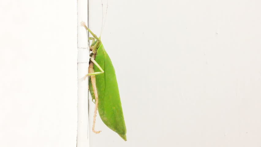 Insects in the family Tettigoniidae (commonly called bush cricket, katydid, long-horned grasshopper) sitting on wall.