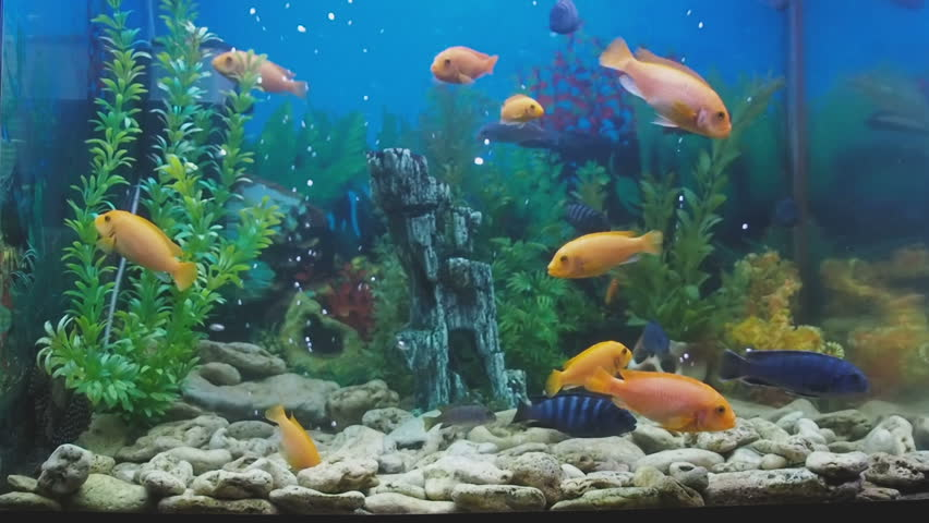 beautiful home aquarium freshwater fish stock footage video 100 rh shutterstock com  beautiful fishes for home aquarium in india