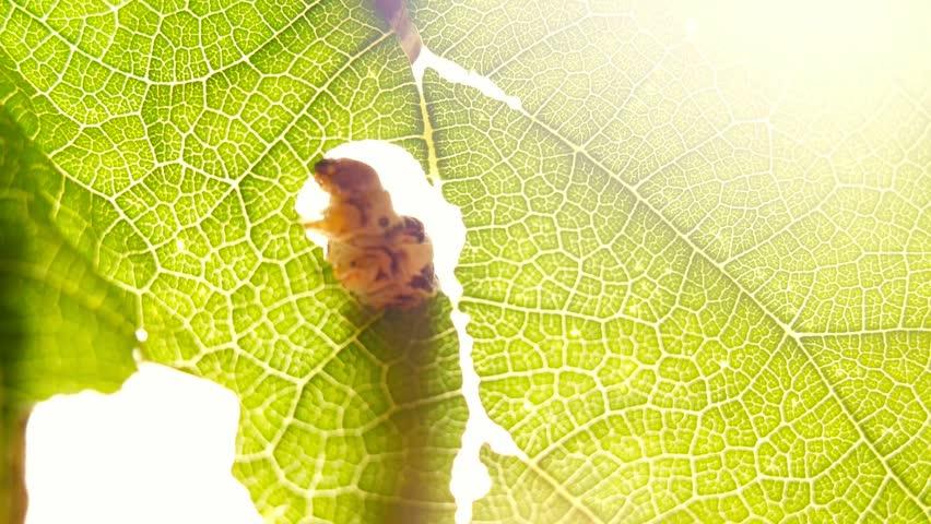 Silkworm caterpillar eating leaf at green tree in summer garden