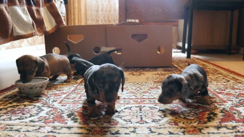 Newborn puppies take the first steps.