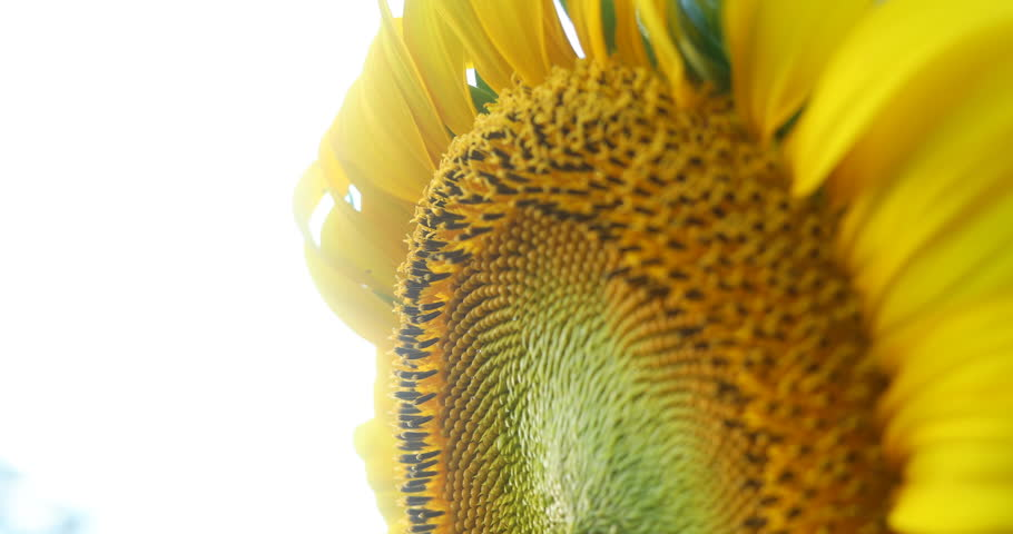 beautiful flower in nature, close up carpel of sunflower