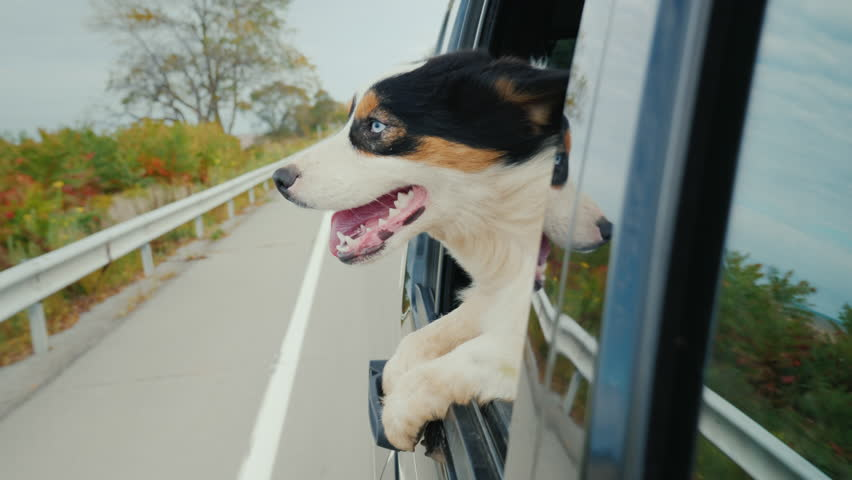 Funny video with animals. The dog goes to the car, looks surprised from the window