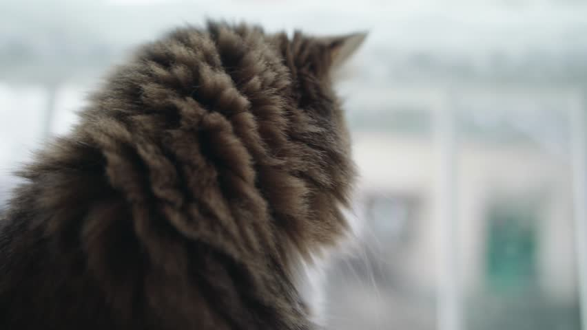 Angora cat in front of a window