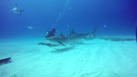 Bull Sharks feeding underwater on sandy bottom of Tiger Beach Bahamas. Extreme scuba diving. Swimming with a dangerous predator Carcharhinus leucas in pure blue water of Atlantic Ocean.